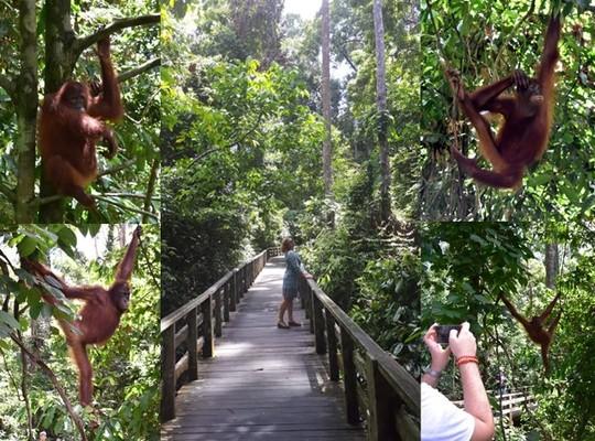 Jún 2017 BORNEO Sepilok Orangutan rehabilitation centre