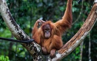 Sepilok orangutania rezervacia